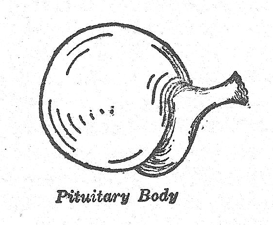 Pituitary ductless gland
